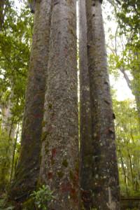 Waipoia Kauri Forest 2 NZ